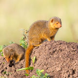 Pair Dwarf Mongooses On Termite Hill Royalty Free Stock Photo