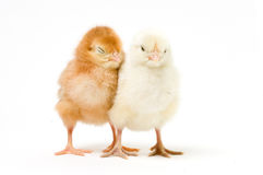 A Pair of Easter Chicks Royalty Free Stock Photos