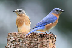Pair of Eastern Bluebird. (Sialia sialis) on a log with nesting material stock photos