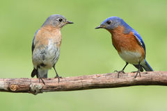 Pair of Eastern Bluebird Stock Photos