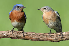 Pair of Eastern Bluebird Royalty Free Stock Images
