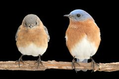 Pair of Eastern Bluebird on Black Royalty Free Stock Photo
