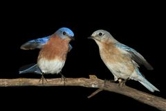 Pair of Eastern Bluebird on Black Royalty Free Stock Photography