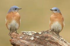Pair of Eastern Bluebird Royalty Free Stock Image