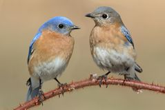 Pair of Eastern Bluebird Royalty Free Stock Photos