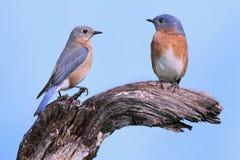 Pair of Eastern Bluebirds. (Sialia sialis) on a log Stock Photos