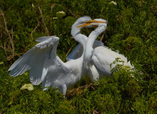 Pair of egrets. A pair of egrets in Florida park royalty free stock photos