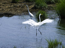 A Pair of Egrets on the Water. A pair of Egrets with one landing on the water Royalty Free Stock Images