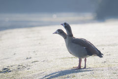 Pair of Egyptian Geese Alopochen aegyptiacus. On a frosty winter morning Stock Photography