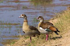 Pair of Egyptian geese Stock Photo