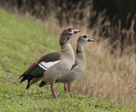 Pair of Egyptian Geese Royalty Free Stock Photo