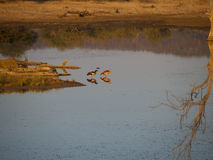 A pair of Egyptian geese Royalty Free Stock Images