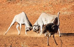 Eland Bulls. A pair of Eland bulls fighting in Southern African savanna stock images