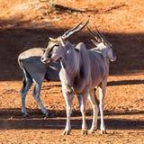 Eland Bulls. A pair of Eland bulls at a watering hole in Southern African savanna stock image