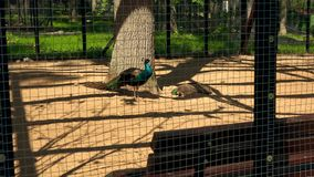 Pair of elegant peacock birds in zoological garden cage. Zoom out shot. 4K stock footage