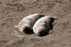 Pair of elephant seals Royalty Free Stock Photo