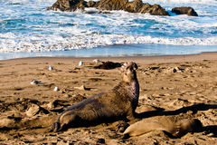 Pair of Elephant Seals Royalty Free Stock Photography