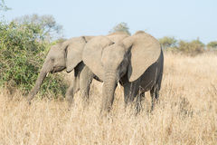 Pair of Elephants Stock Photos