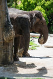 Pair of elephants Royalty Free Stock Photo