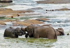 Elephants in love play in the river. royalty free stock photo