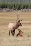 Pair of Elk Royalty Free Stock Photos