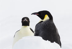 A pair of emperor penguins Stock Image
