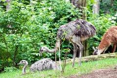 Pair of emu (Dromaius novaehollandiae) Royalty Free Stock Image