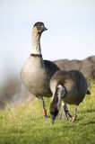 A pair of endangered Hawaiian Geese (Nene) Royalty Free Stock Images
