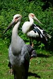 Pair of endangered wading birds from southeastern asia Milky stork  Mycteria cinerea relaxing in ZOO exposition of tropical birds. Pair of endangered wading Royalty Free Stock Photography