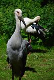 Pair of endangered wading birds from southeastern asia Milky stork  Mycteria cinerea relaxing in ZOO exposition of tropical birds. Pair of endangered wading Stock Photos