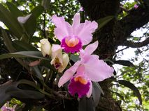 A pair of epiphytic ornamental tropical exotic flowers, pink Cattleya orchids stock photo