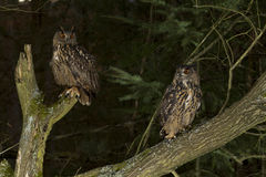 A pair of Eurasian Eagle Owls. Sitting in the forest royalty free stock photos