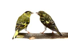 The pair of Eurasian Siskin on white Stock Photo