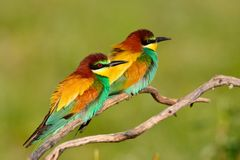 Pair of european bee-eater (Merops apiaster). Royalty Free Stock Images