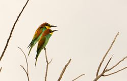 Pair of European bee-eaters royalty free stock photos