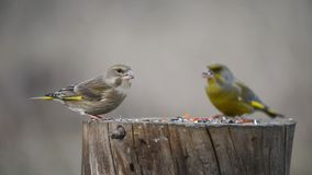 A pair of European green finch sitting on the winter bird feeder stock video footage