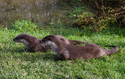Pair of European Otters Stock Image
