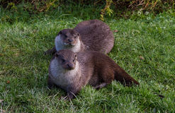 Pair of European Otters Stock Photo