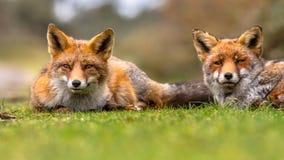 Pair of  European red fox Royalty Free Stock Photo