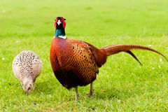 Pair of European Ring Necked Pheasants Royalty Free Stock Photo