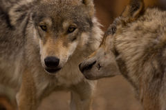 A pair of European Wolves. Close up view of a pair of European Wolves Royalty Free Stock Photography
