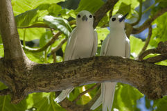Pair of fairy terns. Pair of fairy (white) terns, Gygis alba, Seychelles royalty free stock image