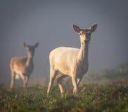 Pair of Fallow Deer in bracken on a misty morning (Dama dama) Stock Photos