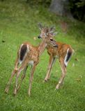 Pair of fawns Stock Photos