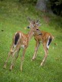 Pair of fawns Stock Photos
