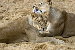 Pair of female lions stock photography