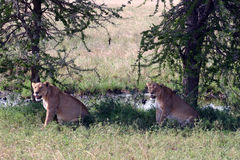 A pair of female lions Stock Photos