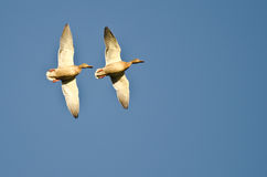 Pair of Female Mallard Ducks Flying in a Blue Sky Royalty Free Stock Image