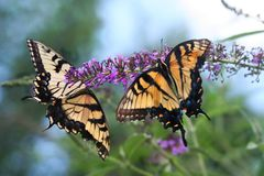 Pair of female Tiger Swallowtail butterflies feed together. Two Swallowtail butterflies concentrate their efforts on one purple butterfly bush flower panacle Royalty Free Stock Photos