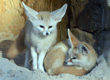 A pair of Fennec Foxes Stock Images
